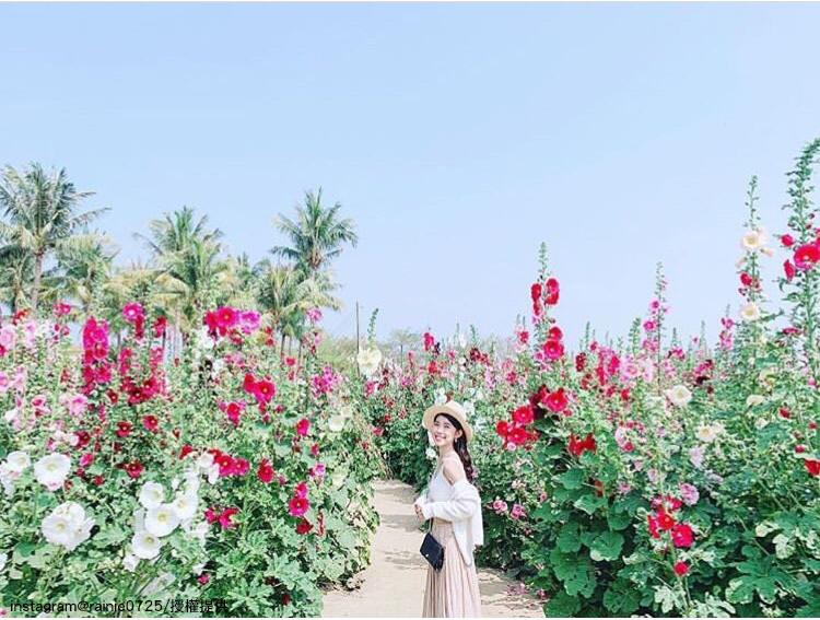 台南學甲蜀葵花海,預計將盛開至四月。圖:翻攝自instagram rainie0725 /開放權限