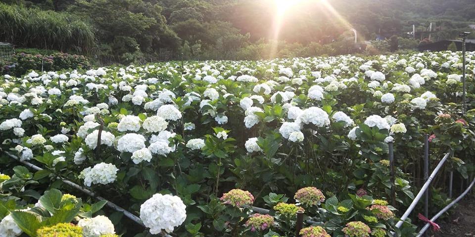 大賞園5月13日花況。 圖:取自大賞園臉書