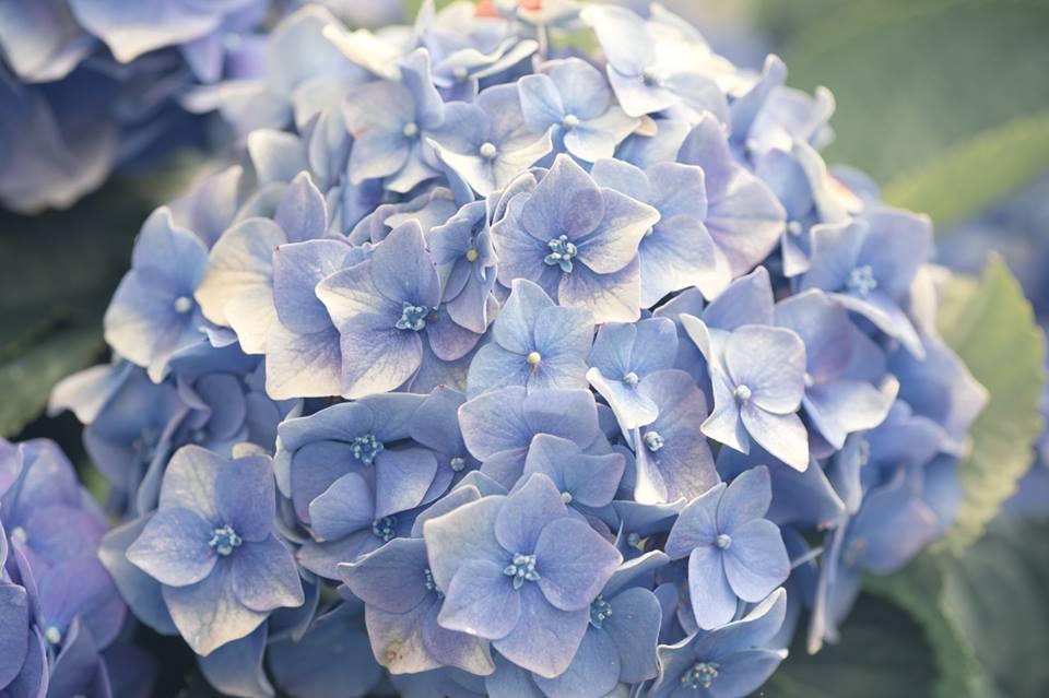 繡球藍紫浪漫越來越受歡迎。圖:chuufly ku/攝