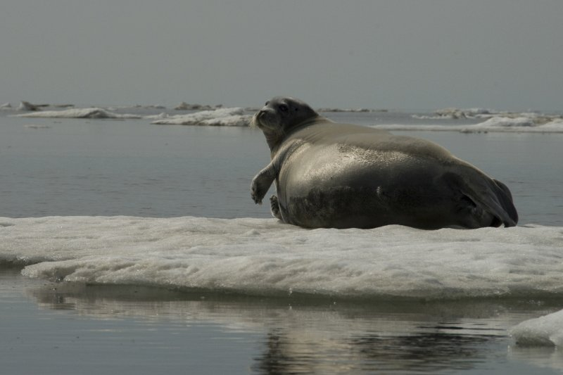美國阿拉斯加的海豹也因全球暖化面臨生存危機。(美聯社)