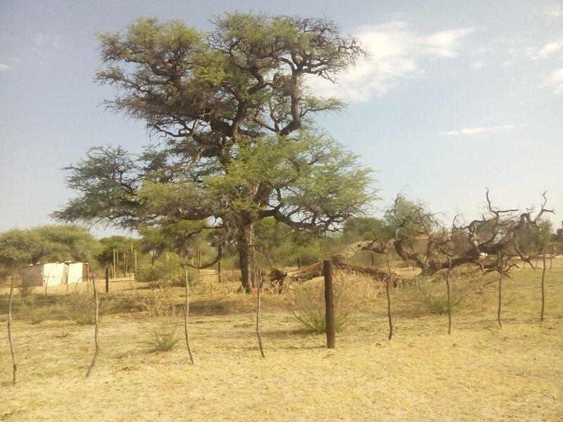 據聞當年有許多赫雷羅與納馬受害者被吊死在這棵樹上。(圖/維基百科公有領域)